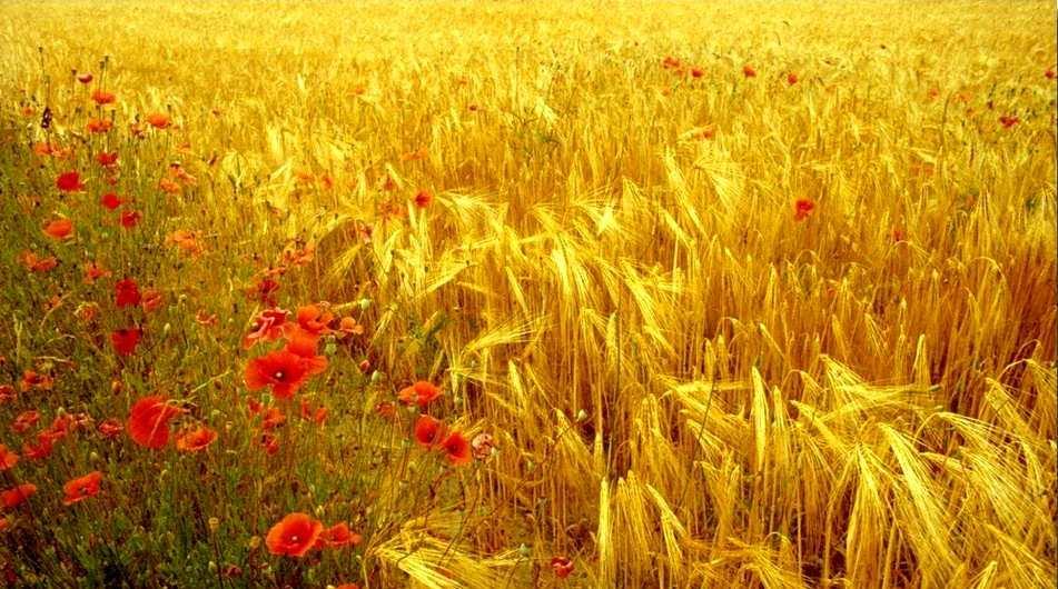 campo di grano che ondeggia nel vento