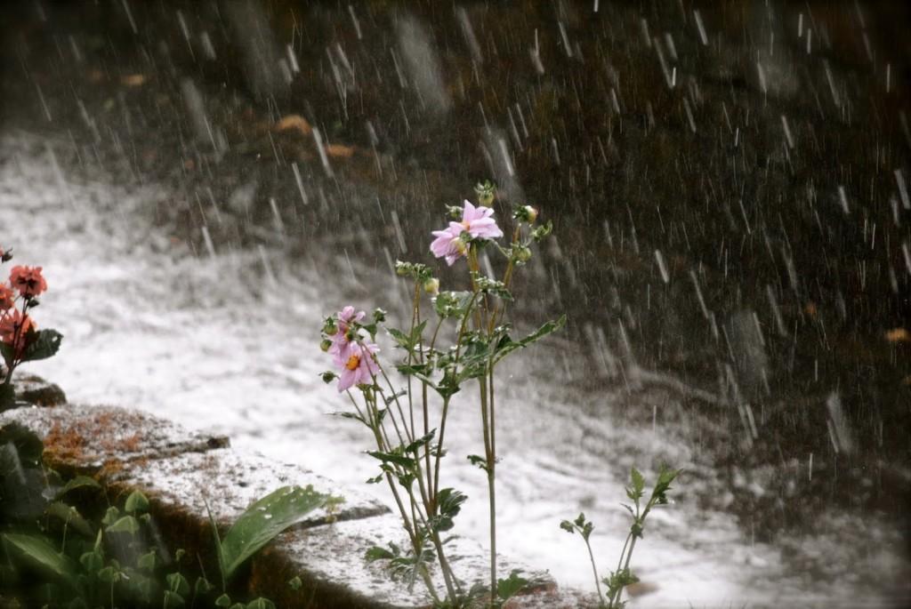 piogga-fiore